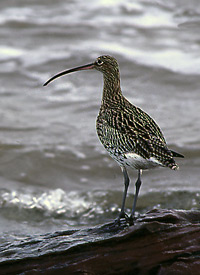 Curlew at Red Rock Sands